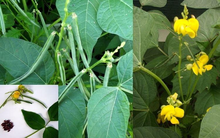 Vigna umbellata Rice Paddy Bean Vigna Umbellata Seeds Fair Dinkum Seeds