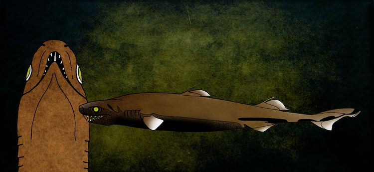 Viper dogfish Viper Dogfish Trigonognathus kabeyai Shark University