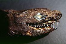 Viper dogfish httpsuploadwikimediaorgwikipediacommonsthu