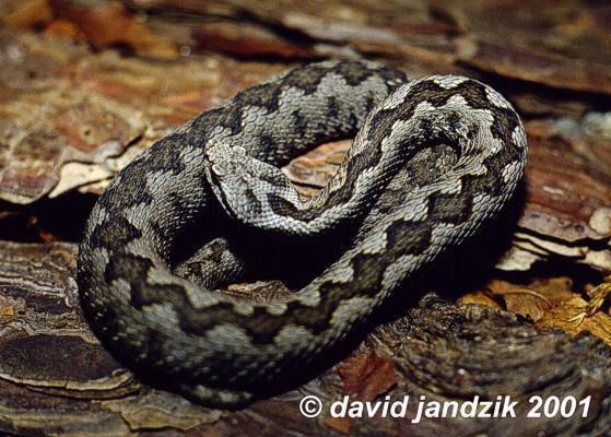 Vipera Vipera latastei The Reptile Database
