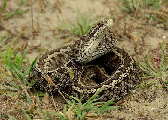Vipera ursinii Meadow viper Vipera ursinii