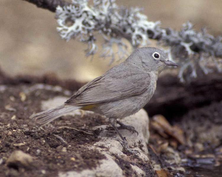 Virginia's warbler Virginias Warbler Audubon Field Guide