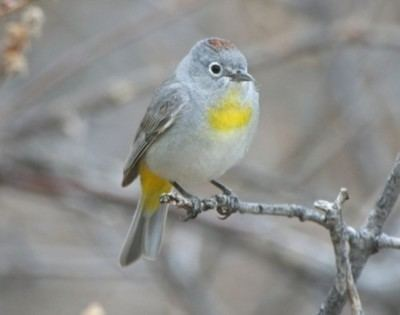 Virginia's warbler 1000 images about Arizona Birds on Pinterest Fireflies Birds and