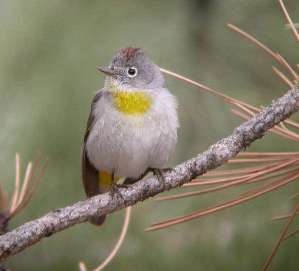 Virginia's warbler iV virginiaeia Virginias Warbler