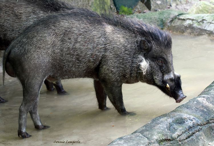 Cebu warty pig
