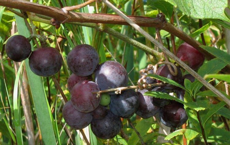 Vitis labrusca Vitis labrusca fox grape Go Botany