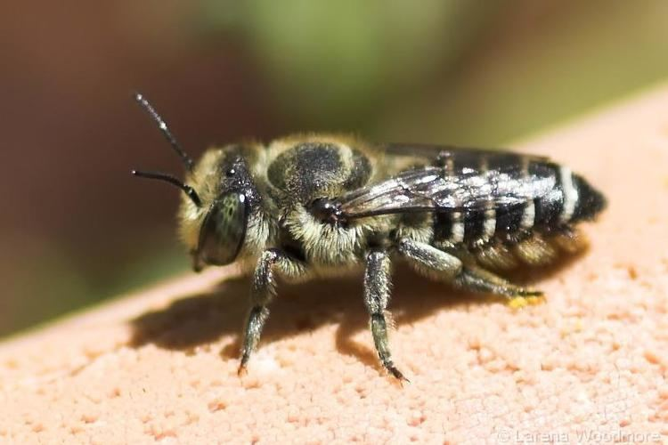 Vulture bee Grossmanns Hives WordPress is the Bees Knees Page 5