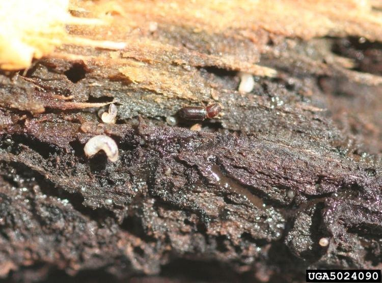 Walnut twig beetle Forest Pest Insects in North America a Photographic Guide