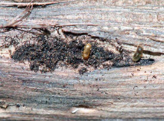 Walnut twig beetle Home Yard Garden Newsletter at the University of Illinois