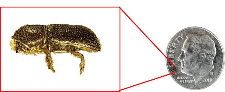 Walnut twig beetle Thousand Cankers Disease Beetle ID