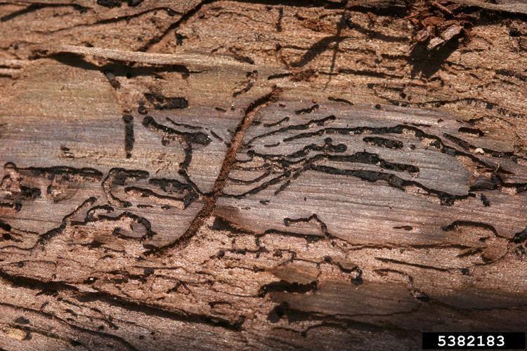 Walnut twig beetle ThousandCankers Disease Arkansas Invasives