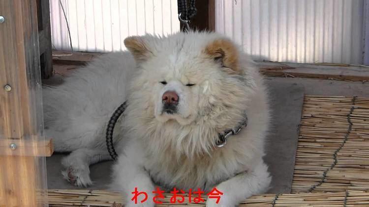 Wasao wasao dog nowmov YouTube