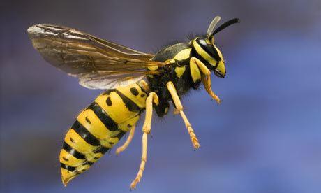 Wasp Fun Wasp Facts