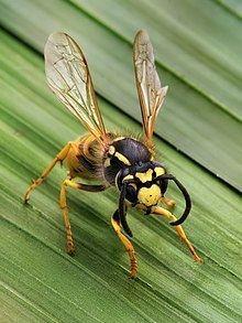 Wasp Wasp Wikipedia