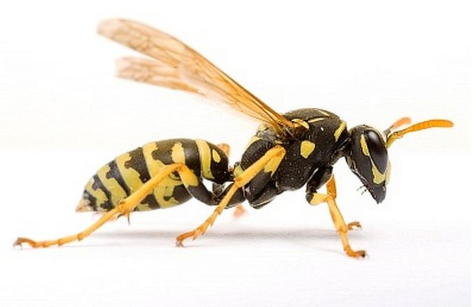 Wasp Its time for the talk the wasps and the bees It is Alive in the Lab