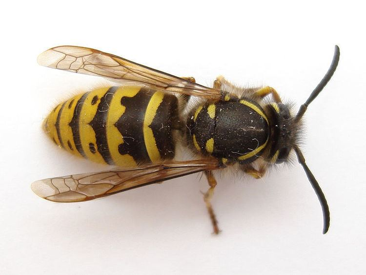 Wasp Wasp Bees Nest Removal Honeybee Centre