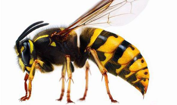 Wasp Worried by wasps Woking Borough Council