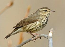 Waterthrush Northern Waterthrush Identification All About Birds Cornell Lab