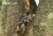 Weasel sportive lemur cdn2arkiveorgmedia9797326ED7FE81480FA6A9B