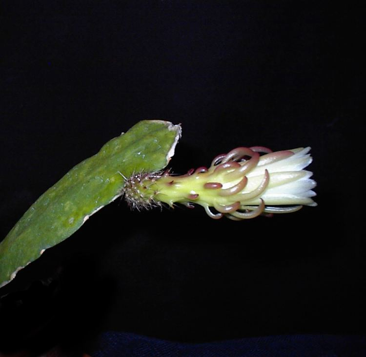 Weberocereus rosei