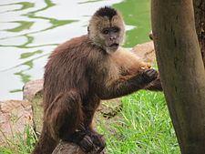 Wedge-capped capuchin Wedgecapped capuchin Wikipedia