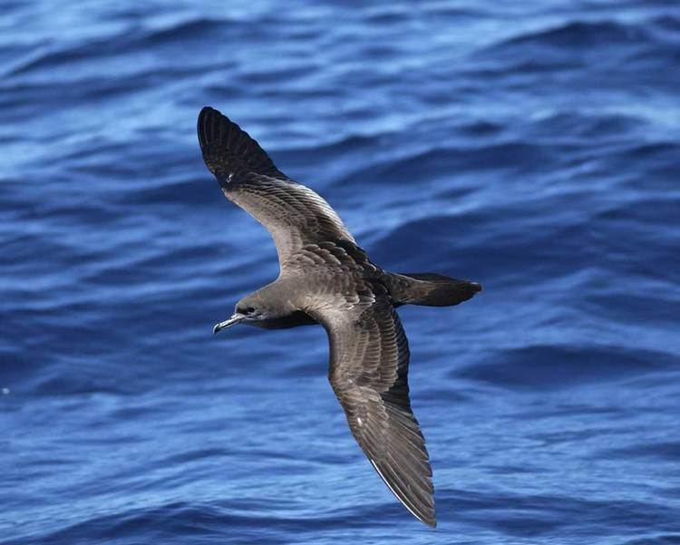Wedge-tailed shearwater Wedgetailed Shearwater Audubon Field Guide