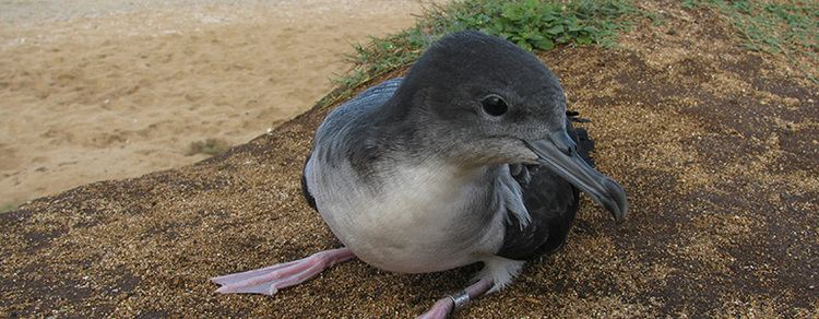 Wedge-tailed shearwater Wedgetailed Shearwater Maui Nui Seabird Recovery Project