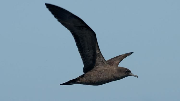 Wedge-tailed shearwater Wedgetailed shearwater New Zealand Birds Online