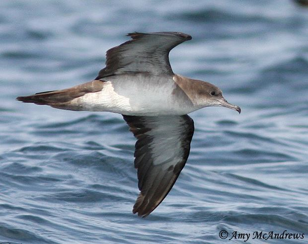Wedge-tailed shearwater Wedgetailed Shearwater Species Information and Photos