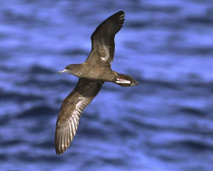 Wedge-tailed shearwater d2fbmjy3x0sduacloudfrontnetsitesdefaultfiles
