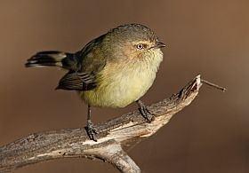 Weebill Weebill BirdLife Australia