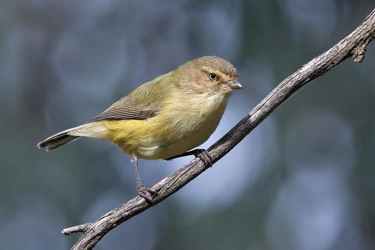 Weebill Weebill Smicrornis brevirostris videos photos and sound