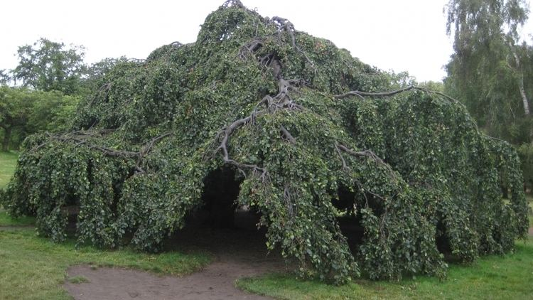 Weeping beech 1000 images about Weeping Trees on Pinterest Trees Back to and