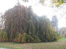 Weeping beech httpsuploadwikimediaorgwikipediacommonsthu