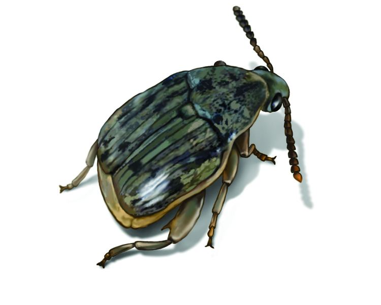 Weevil Weevils Weevil Facts Control Information