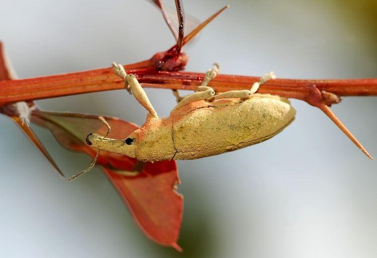Weevil Weevil Wikipedia