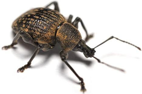 Weevil Vine Weevil a major garden pest problem