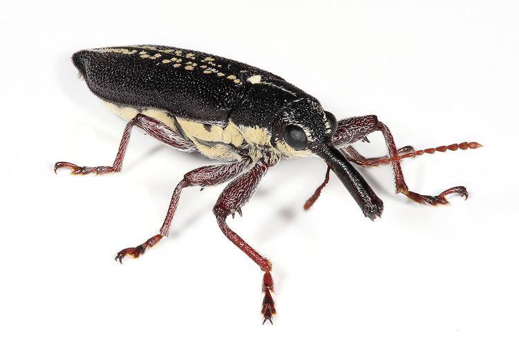 Weevil Belidae Wikipedia
