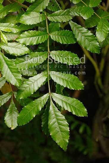 Weinmannia silvicola Tawhero or Towai foliage and leaves Weinmannia silvicola NZ