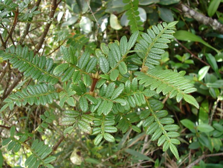 Weinmannia tomentosa Inicio