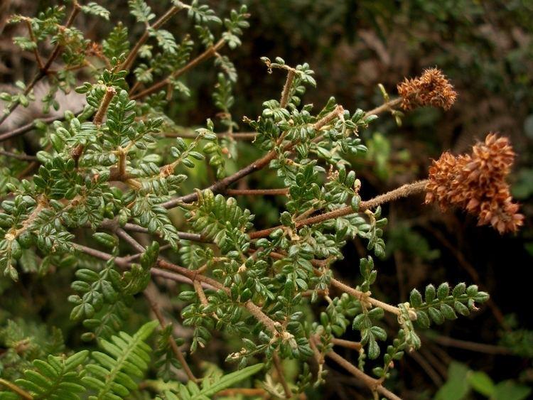 Weinmannia tomentosa Opiniones de Weinmannia tomentosa