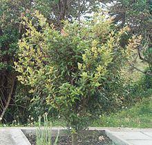 Weinmannia tomentosa httpsuploadwikimediaorgwikipediacommonsthu