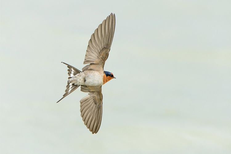 Welcome swallow Welcome swallow New Zealand Birds Online