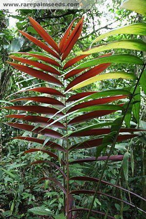Welfia Welfia regia buy seeds at rarepalmseedscom
