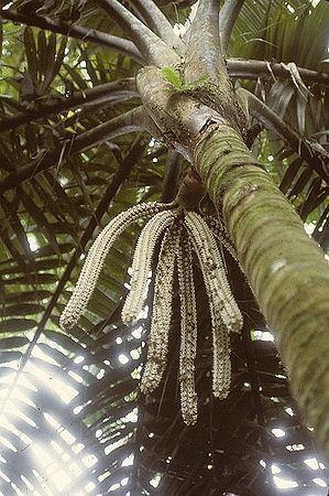 Welfia Welfia Regia Palmpedia Palm Growers Guide
