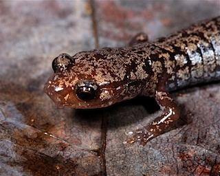 Weller's salamander Plethodon welleri Wellers Salamander My Field Journal Matthew