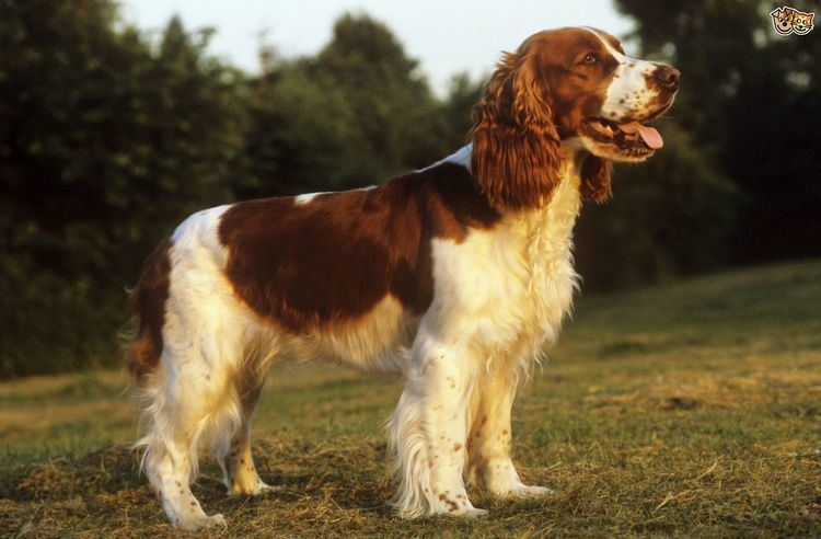 Welsh Springer Spaniel Welsh Springer Spaniel Dog Breed Information Facts Photos Care