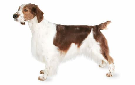 Welsh Springer Spaniel Welsh Springer Spaniel Dog Breed Information Pictures