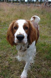 Welsh Springer Spaniel httpsuploadwikimediaorgwikipediacommonsthu