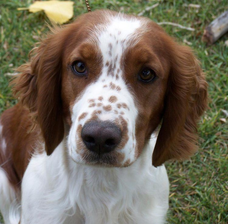 Welsh Springer Spaniel Welsh Springer Spaniel History Personality Appearance Health and